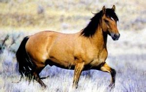 No other horse in America is quite like the Kiger Mustang