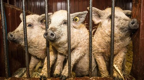 Curly-haired pigs are wagyu of pork world   Scotland   The
